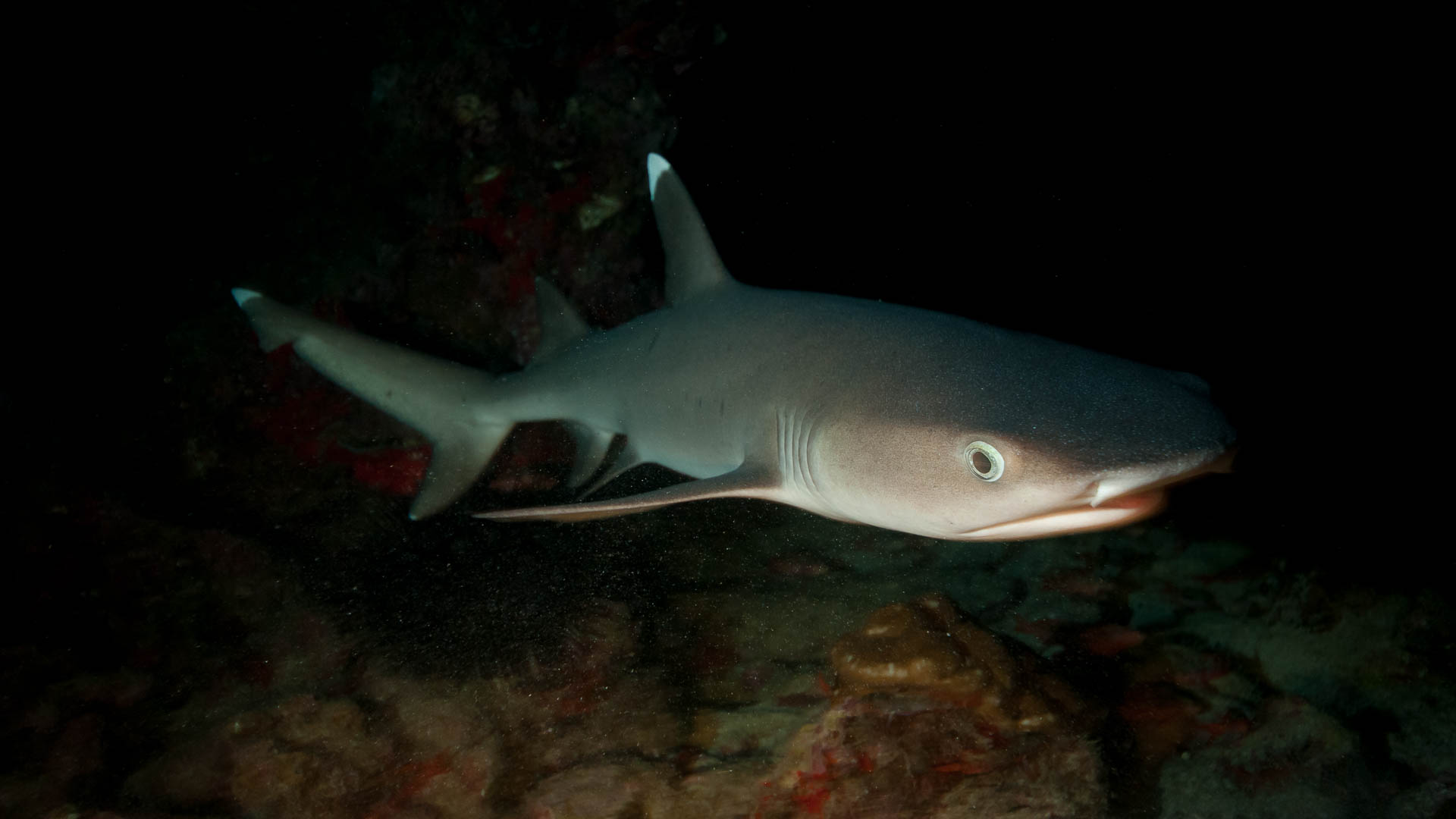 White Tip Reef Shark at black Night (Cocos Island, Unterwasserfotografie)